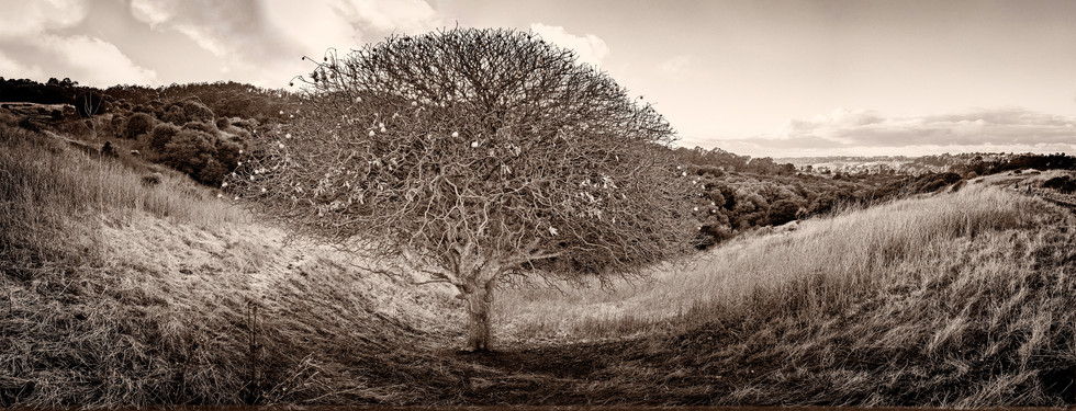 Buckeye Tree, Wildcat Canyon, California