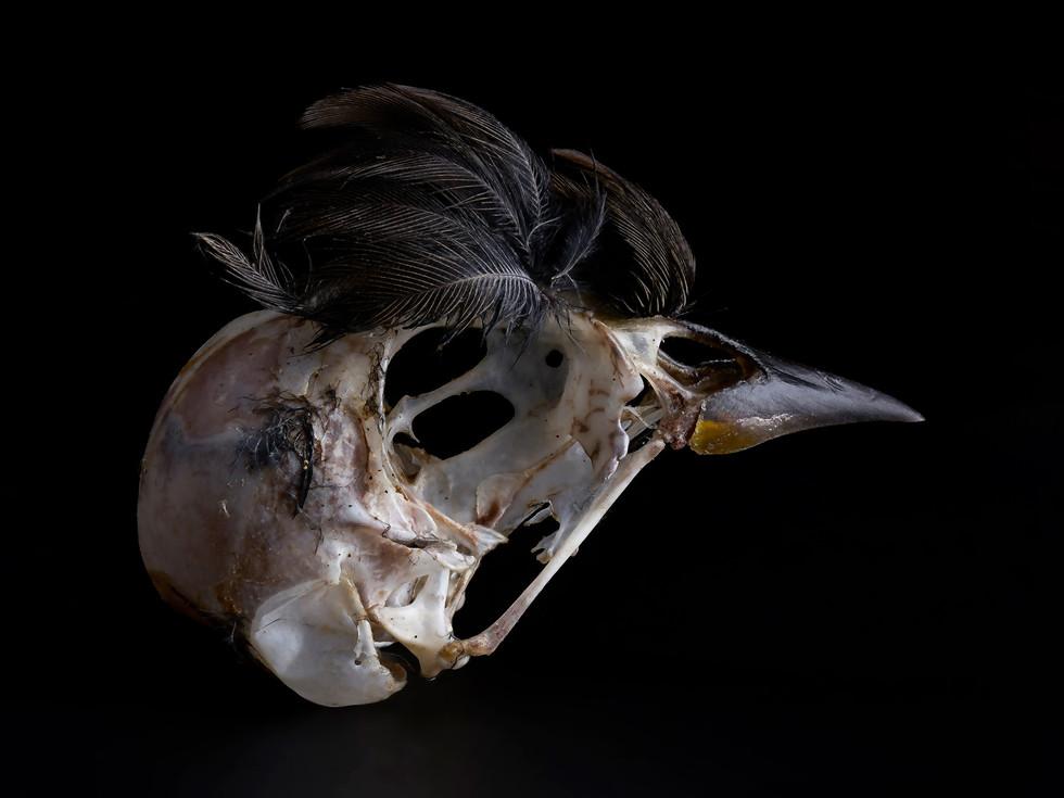 Feathered Bird Skeleton #2