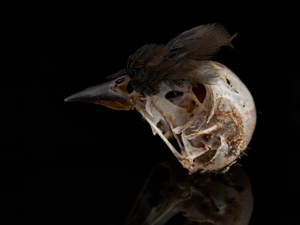 Feathered Bird Skeleton #3