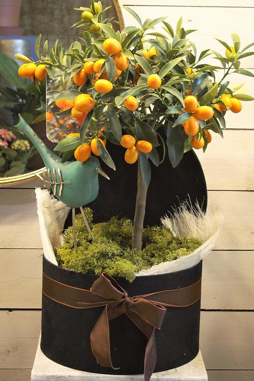 Kumquat -Mandarino giapponese