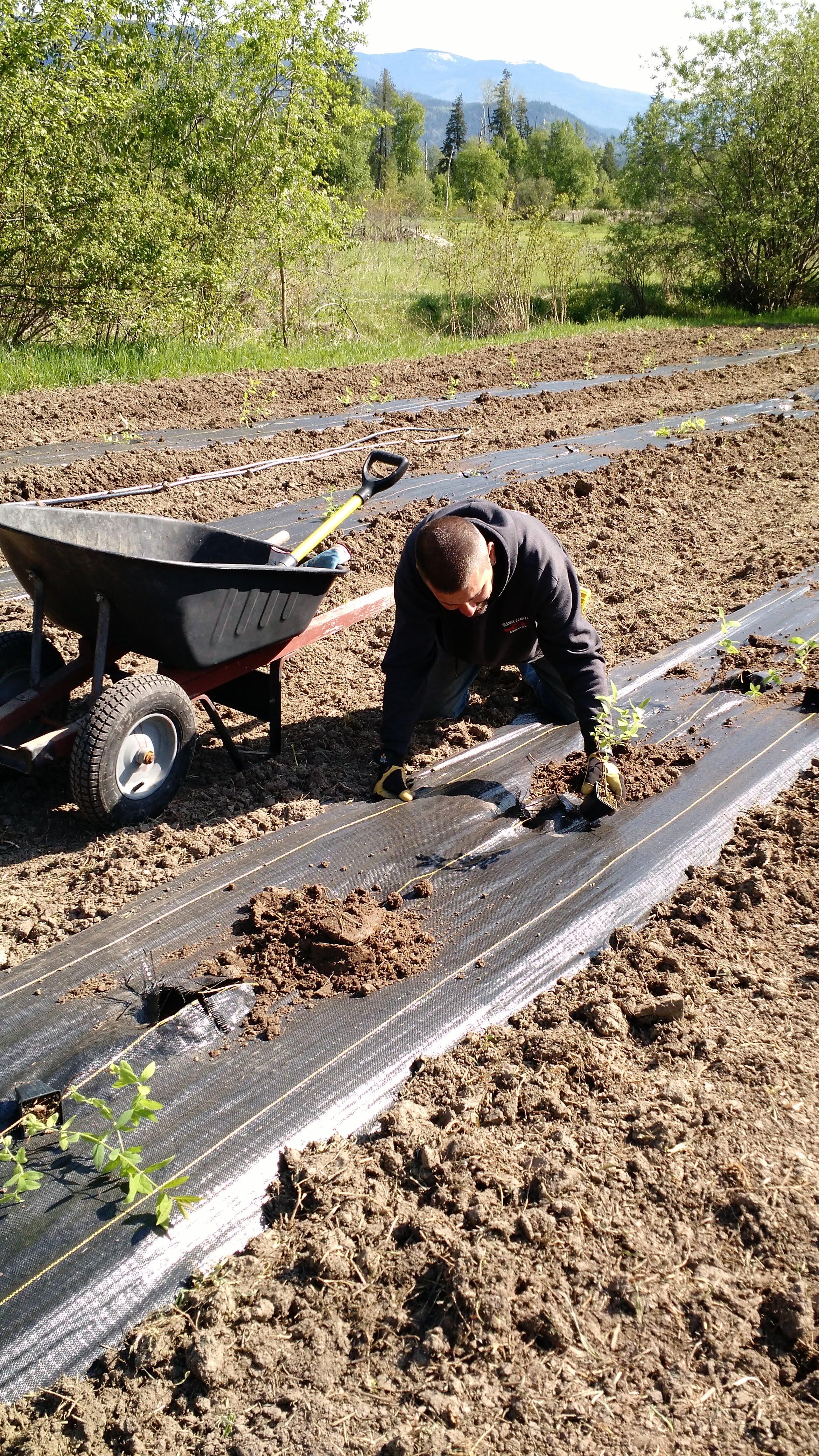 Planting haskap berries in field 4