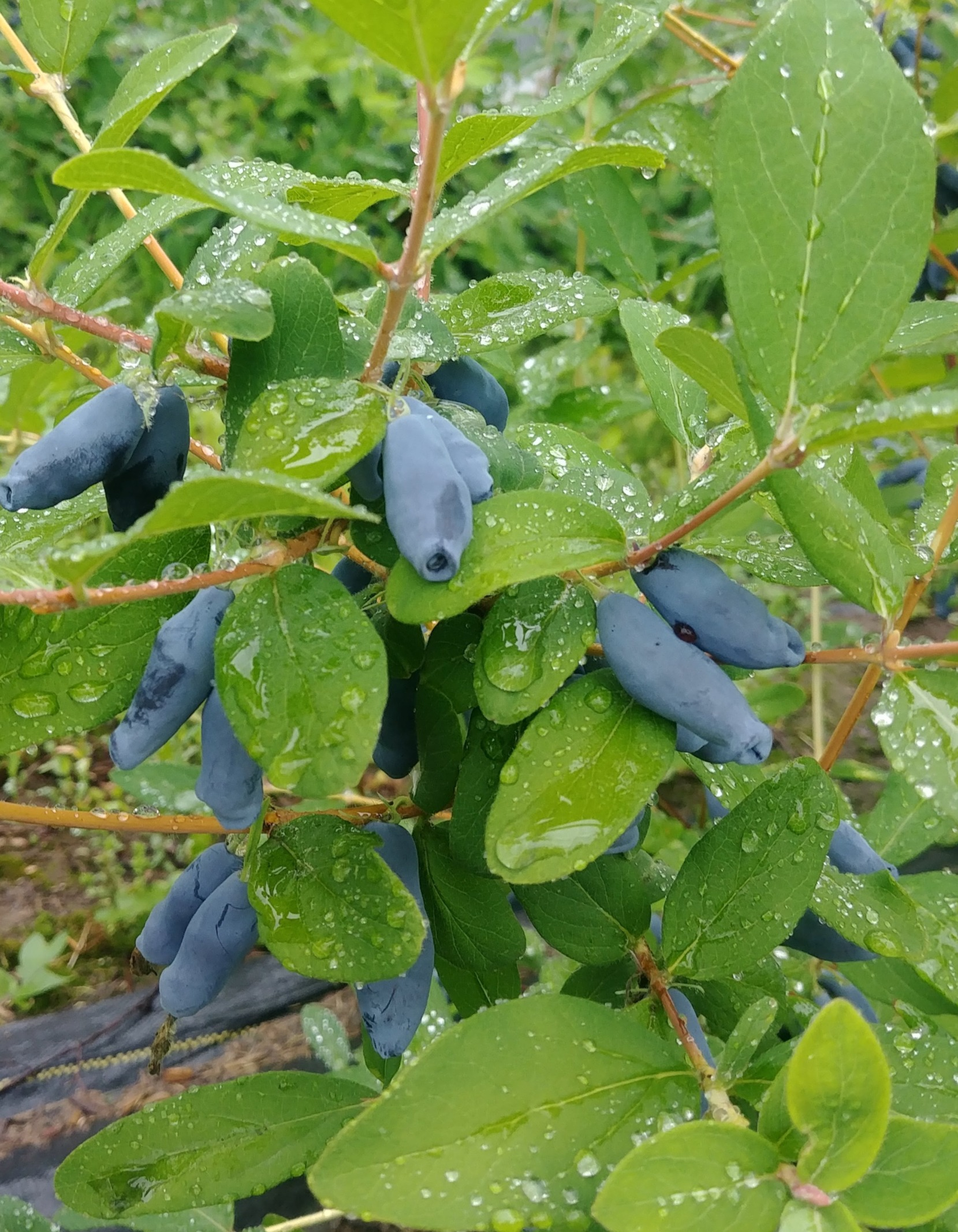 Haskap Ripened on Bush