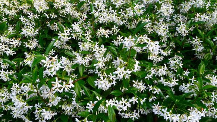 Star Jasmine Vertical Privacy Pack 3