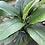 Thumbnail: Spathiphyllum Peace Lily