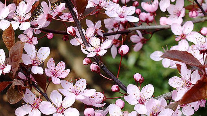Black Cherry Plum