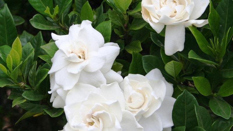 Gardenia Vertical Privacy Pack 2