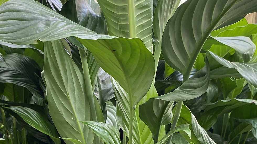 Spathiphyllum Peace Lily