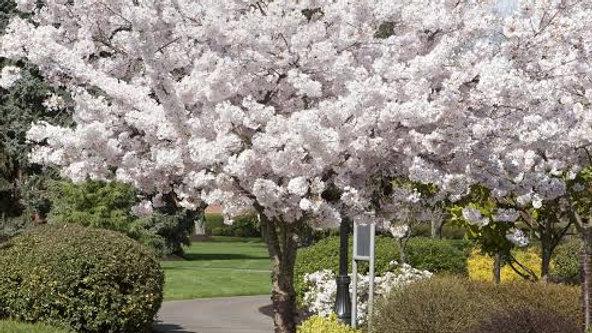 Mt Fuji Cherry Blossom Tree