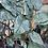 Thumbnail: Alocasia Lowii X Amazonica 'Yucata Princess'