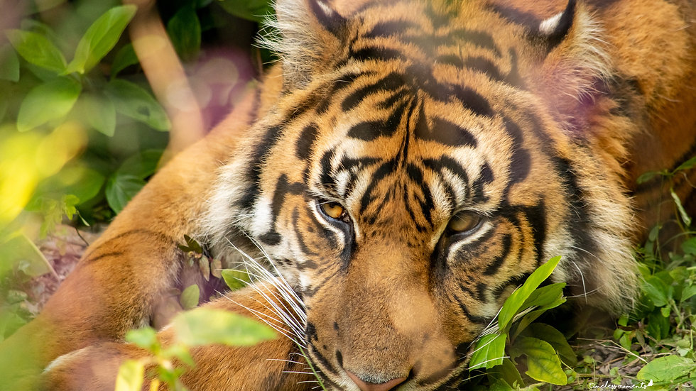 Tiger sleeping wall art and home decor Timeless Moments by Presha and TM Photography