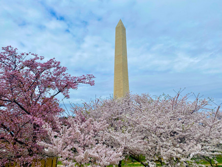 Where to see Cherry Blossoms In Washington DC, Virginia and Maryland
