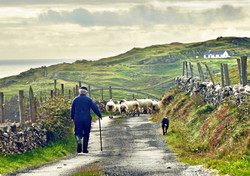 Inishturk Shepherd