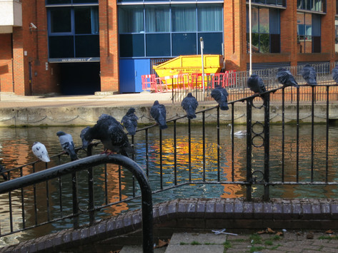 Pigeons by the Kennet, Reading