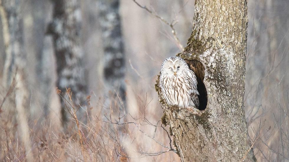 Wink Owl