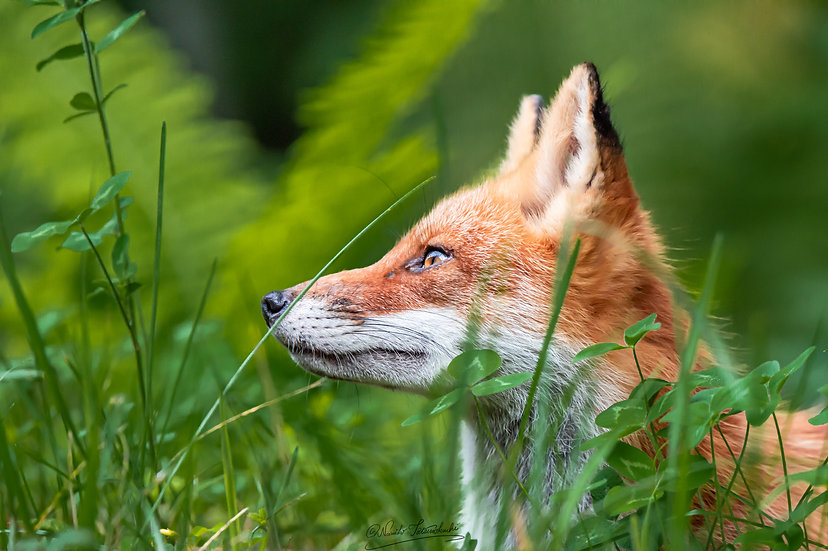 A Focused Fox