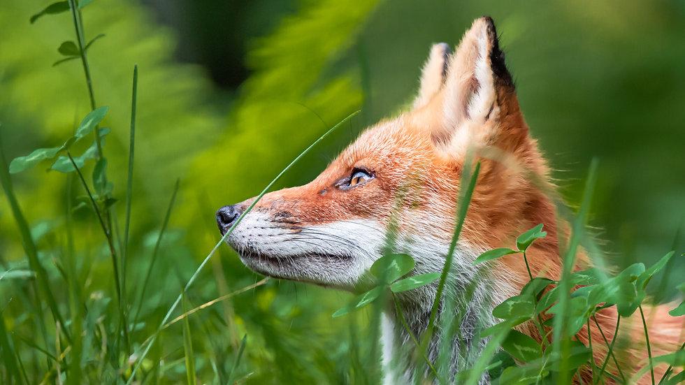 A Focused Fox
