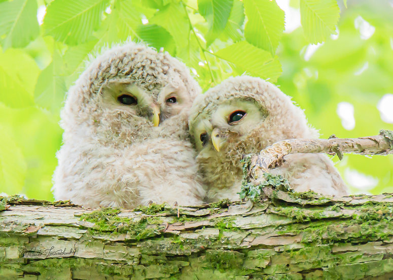 Owl's siblings_013