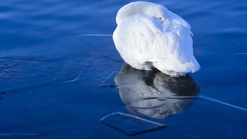 Swan's Reflection