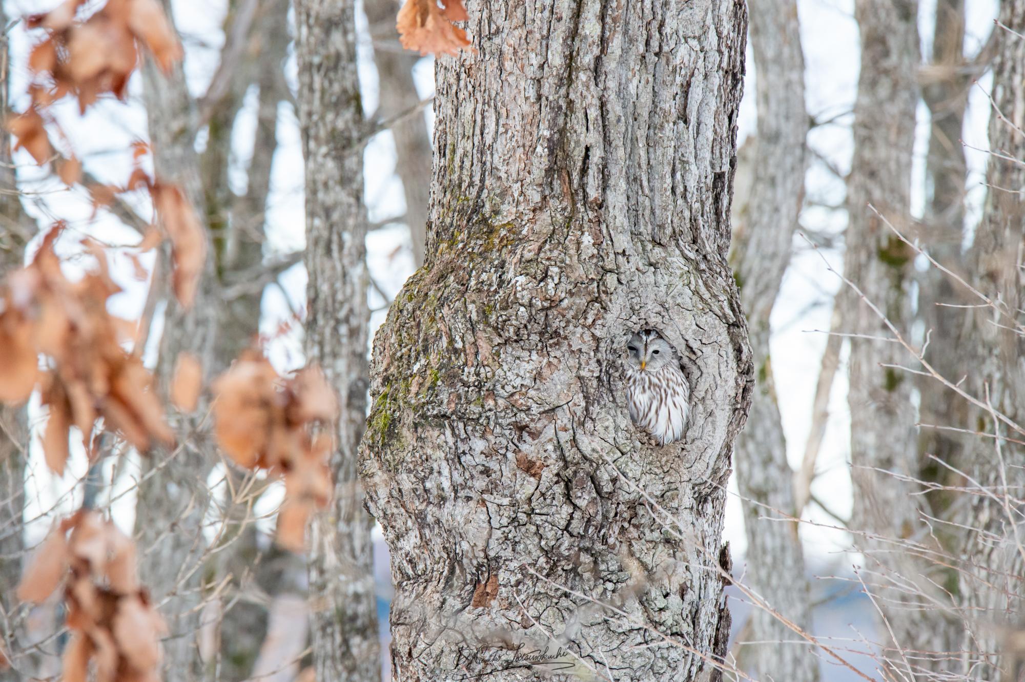 Hiding Owl