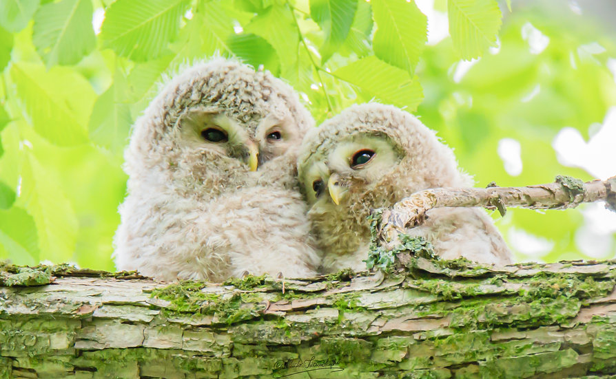 Owl's brothers
