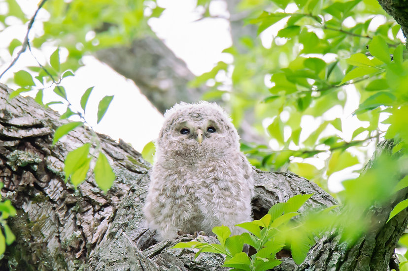 Baby Owl_012