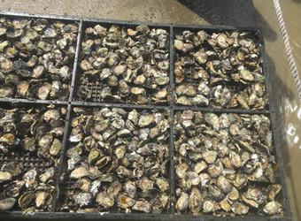 2017 Oyster Harvest!