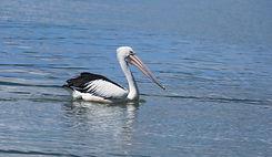 catch a crab pelican swimming 2.JPG