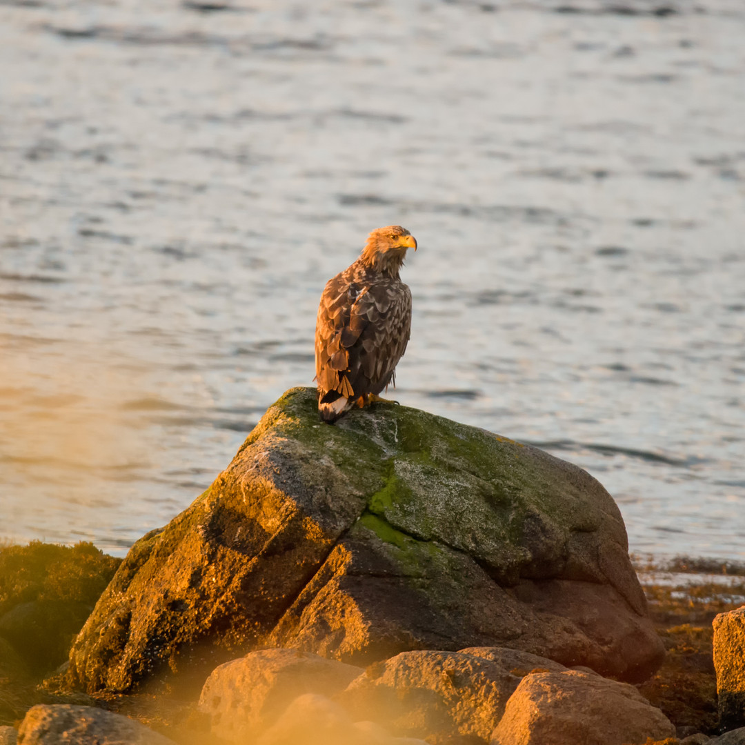 White tailed eagle in Midnightsun