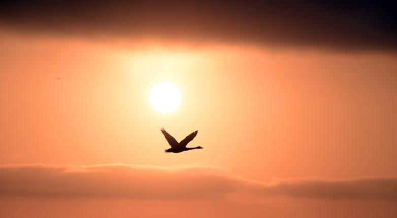 Cigno e sole di mezzanotte