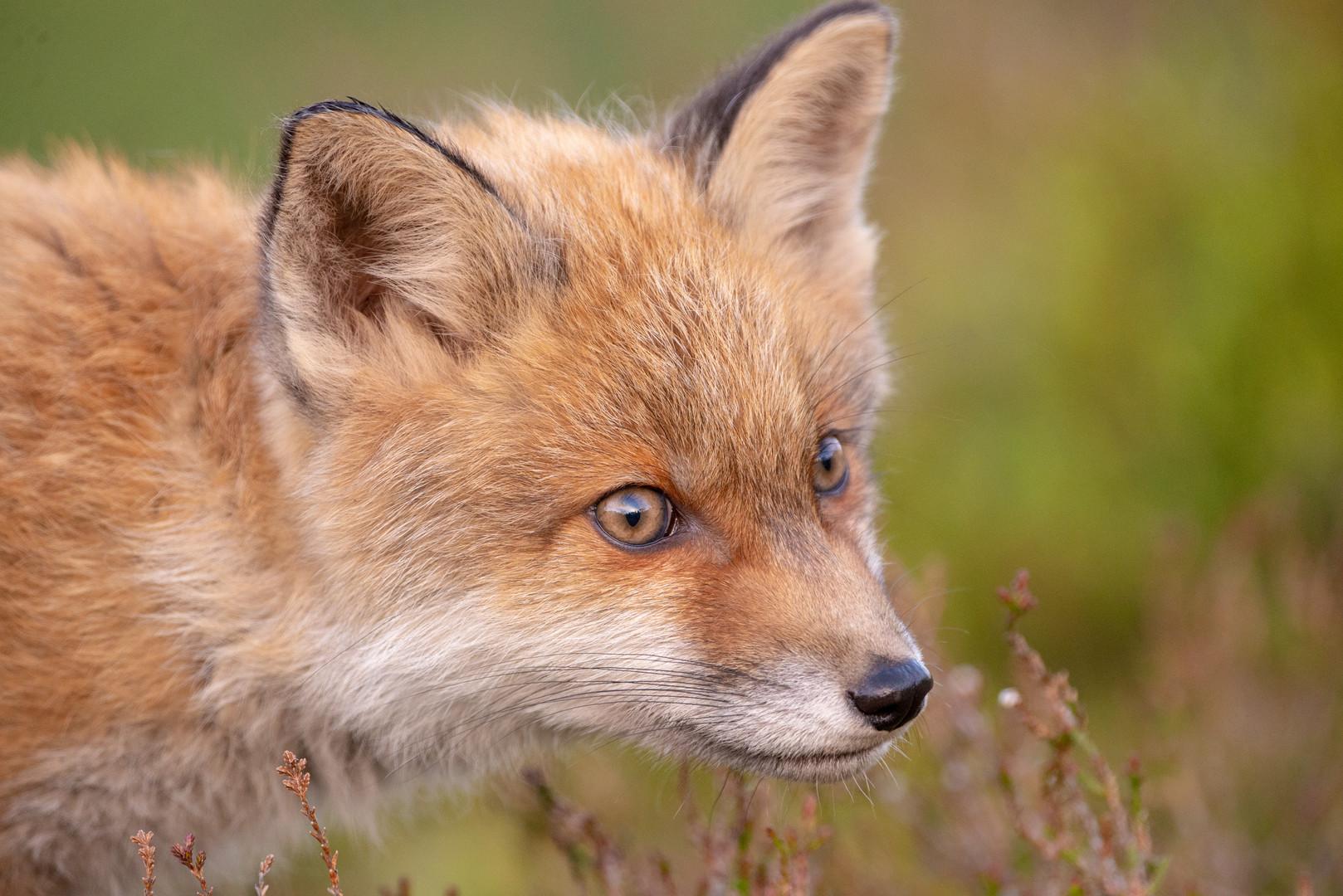 Fox cub taken at night