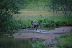 Moose in the river