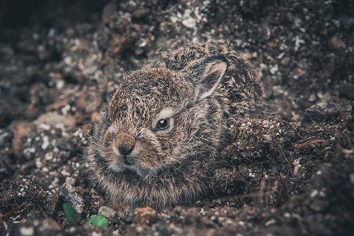 Hare Baby - Veggfoto