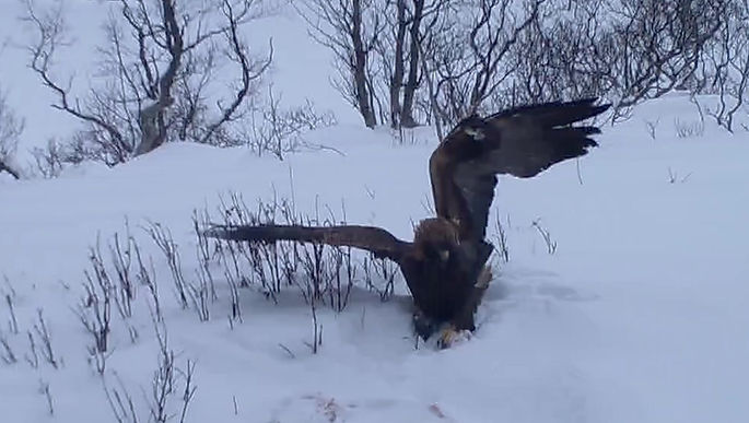 Golden eagle from the photohide