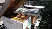 Honey Bee Nucs in NY