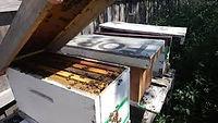 Honey Bee Nucs in NY