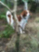 Gladsheim kooikerhondje