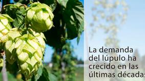 Publicadas las ayudas para  aumentar el cultivo del lúpulo.