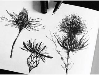 illustration-croquis-plantes-chardons
