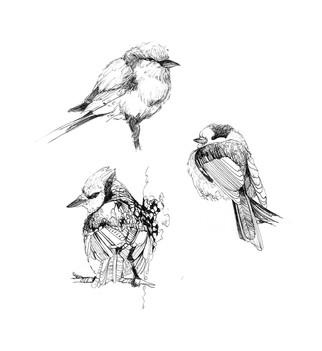 croquis-oiseaux