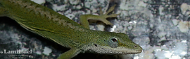 lamifidel-anolis_header-main_edited.png
