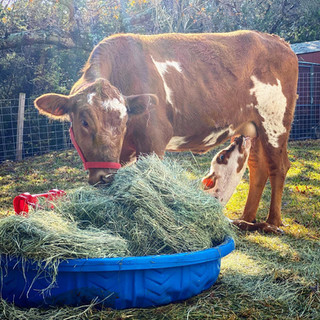 Patchula the Momma Cow
