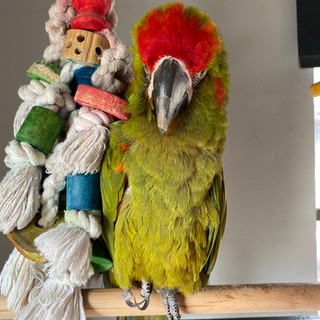 Pebo the Macaw