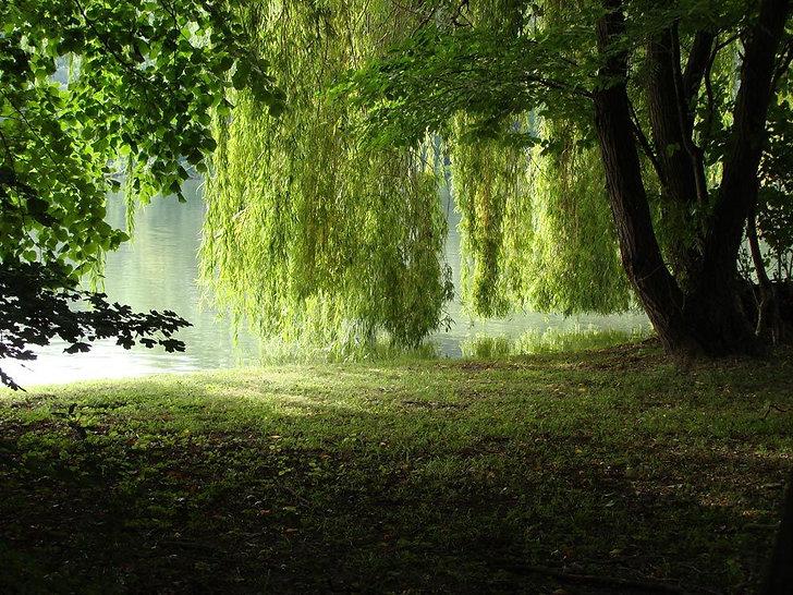 willow tree www.jpg