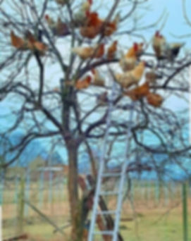 Cheickens in a tree.jpg