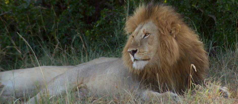 Le Roi du Masaï Mara