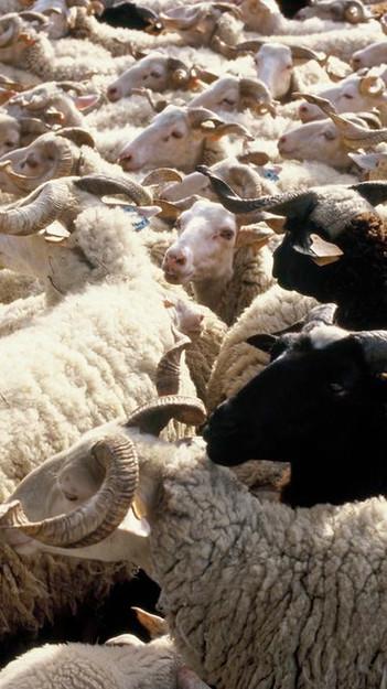 schapen 2.jpg