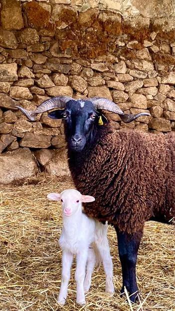 zwarte ooi met wit lam.jpg