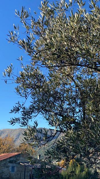 olijfboom en uitzicht.jpg