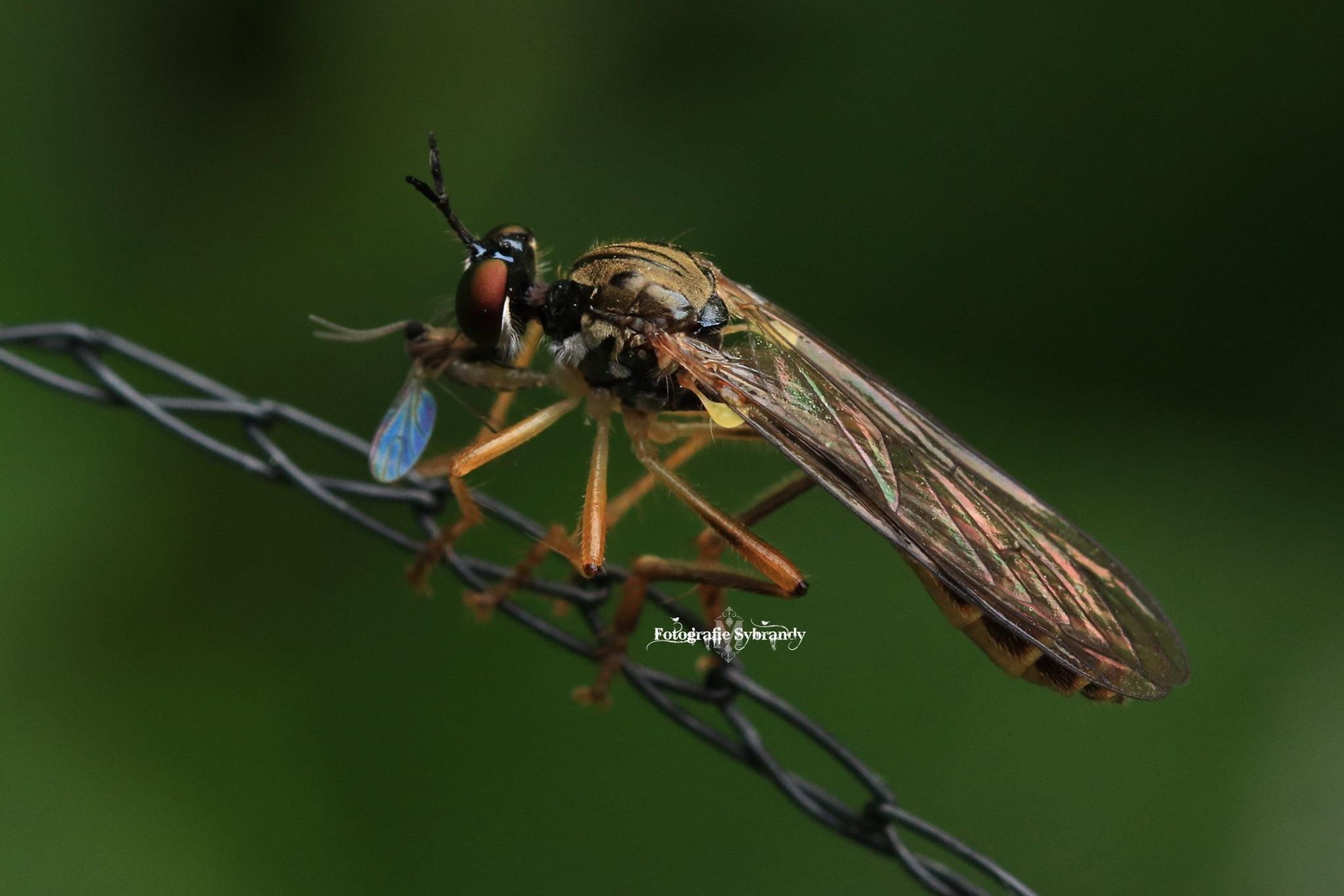 Insect met vlieg - Fotografie Sybrandy