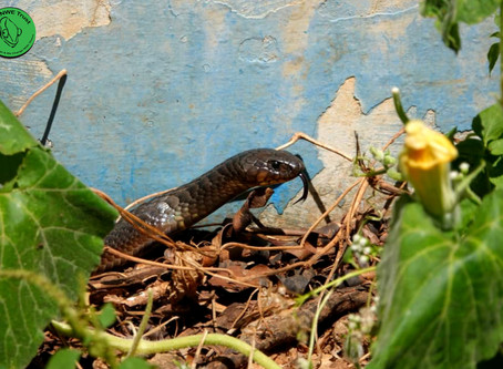 How to get rid of snakes/(nyoka) with explanations - Zimbabwe, Africa